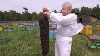 Идет битва за мед. Ловим рои.