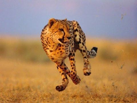 Cheetah Fastest On Earth الفهد الصياد اسرع حيوان على وجه الأرض 1 Youtube