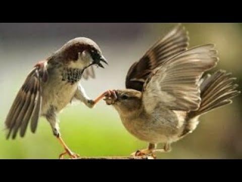 Burung Gereja Tarung di Alam Liar Cocok Untuk Isian Dan Masteran