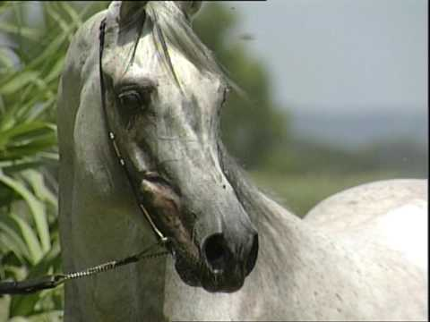 Arabian Horses Arabian Training Point di Domenico Ciceroni