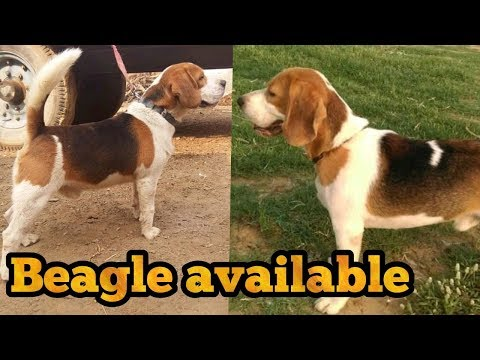 Beagle male for sale