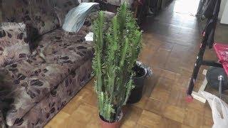 видео 19. Размножение растений верхушечными черенками.