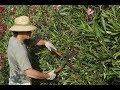 Correct Pruning of Oleander
