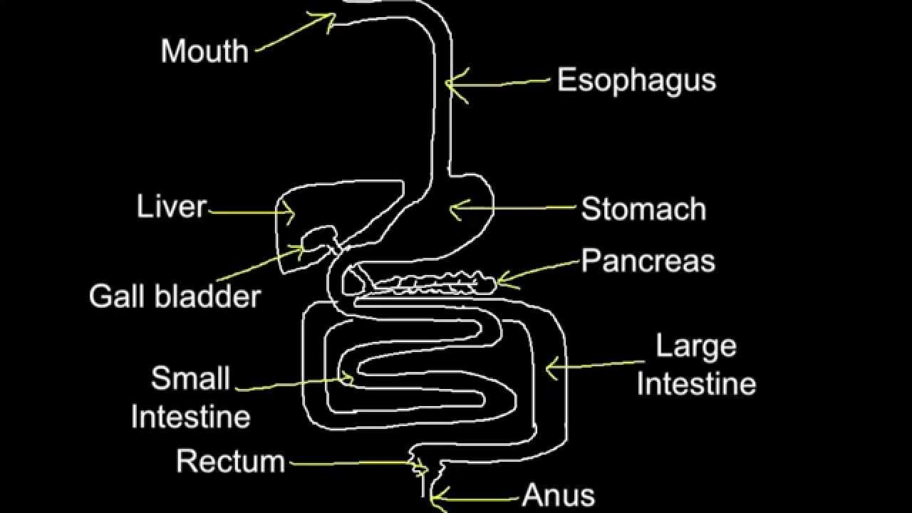 6 1 skill produce an annotated diagram of the digestive system rh youtube com what is usually depicted in an annotated diagram what does annotated diagram