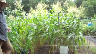 How To Harvest Corn - Growing Tips - Organic Pest Spray Recipe