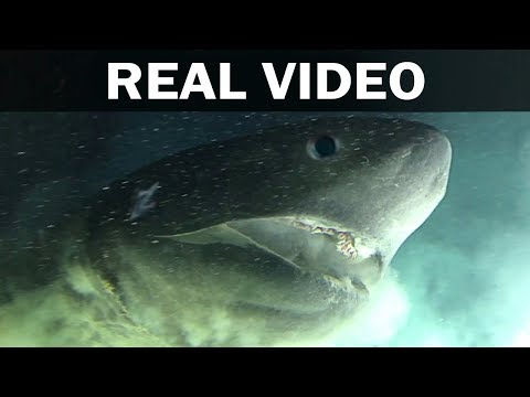 Official Footage of 200 Million Year Old Prehistoric Shark - Oldest Living Creatures Who Still Live