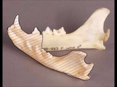 Кот после удаления 3/4 части ветвей нижней челюсти. Диагноз плоскоклеточный рак челюсти