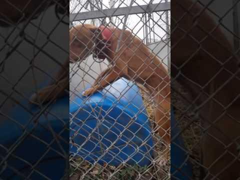 Go fund me Pit bull rescue December 2016