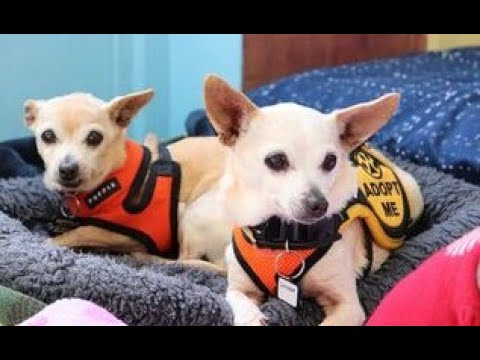 Daydream and Shortbread, Chihuahuas at Muttville