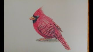 Cardinal drawing - Timelapse