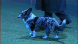 Vulnerable Breeds Parade 2008 - Cardigan Welsh Corgi
