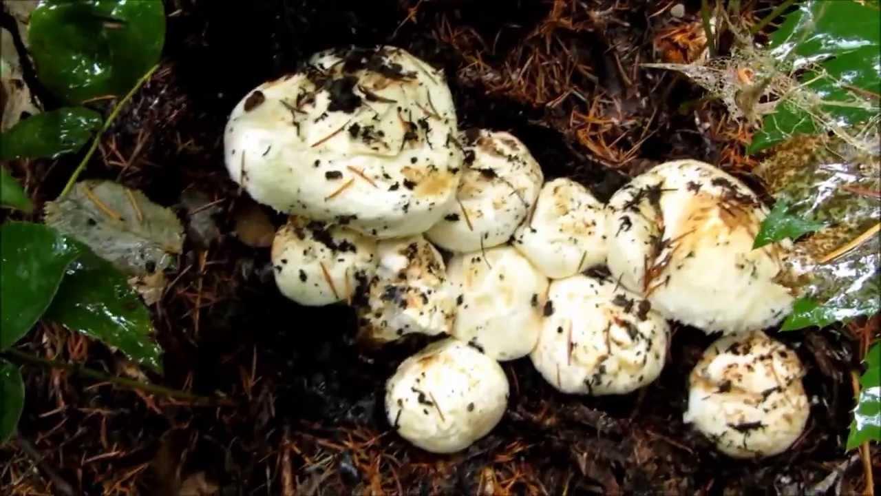 Wild Matsutake Mushroom Foraging in the Pacific Northwest
