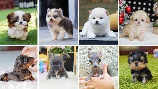 Teacup Dogs  15 Cute Miniature Dog Breeds | Small Dog Breeds | Toy Dog Breeds | Teacup Puppies