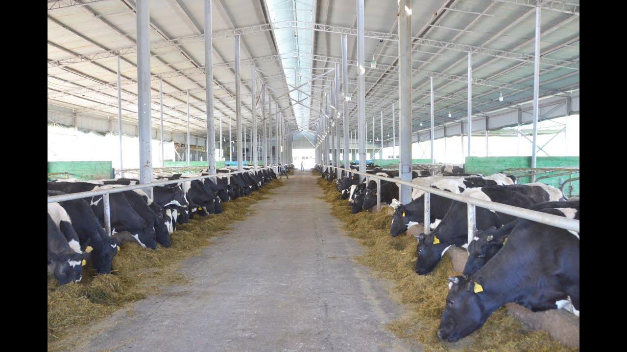 Молочная ферма им. Абдуаруфа Юсупова. Содержание КРС. Устройство Фермы.