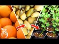 Growing Citrus Trees from Seed – from Harvesting Fruit to Germination