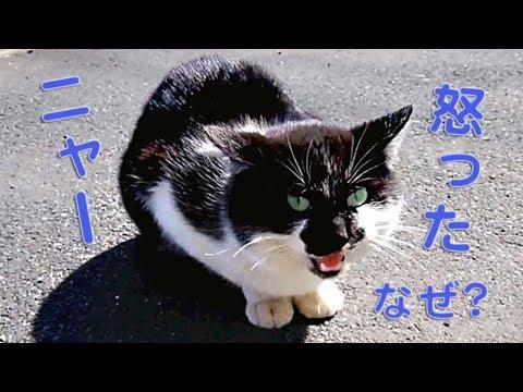 猫に話しかけ…ナデナデしてみたら?怒る! 叫ぶ!威嚇の鳴き声 ! 喧嘩に発展ww (コンビニにいた猫) …衝撃!!猫が喧嘩に至るまで An angry cat【BBC】話す猫