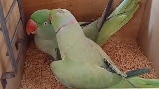Indian Ringneck Parrot Talking Non Stop