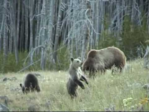 Grizzly Beren in Yellowstone
