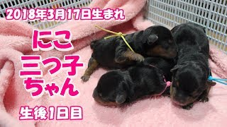 【ヨークシャーテリア専門犬舎チャオカーネ】 2018年3月17日 の三つ子ち...