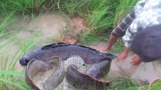 Wow! Amazing People Catching alot of big Fish Cambodia-Fishing Videos Catch alot Fish in rice fields