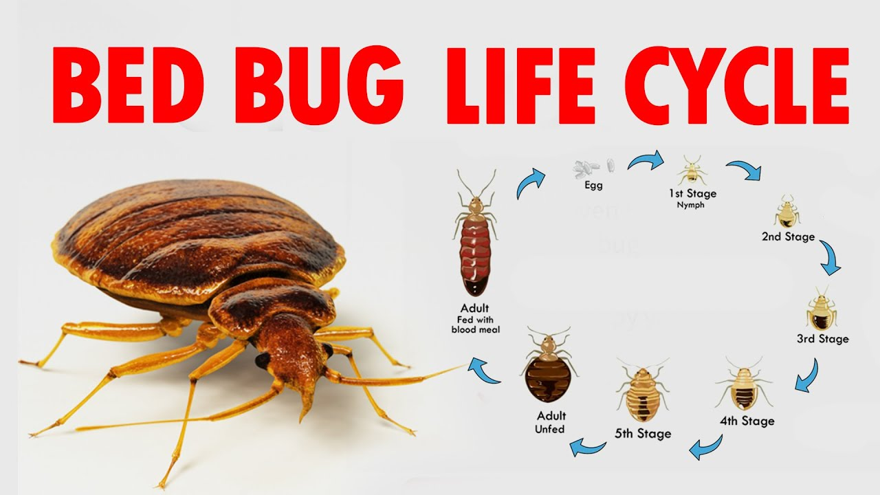 What Do Baby Bed Bugs Look Like Colors Size Bites 5 Ways To Kill Them