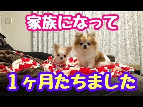 3ヵ月の子犬チワワをお迎えしてから1ヶ月が経ちました【かわいい犬】【puppy chihuahua】【cute dog】