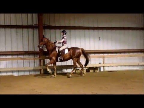 The Five-Gaited Saddlebred's Gaits