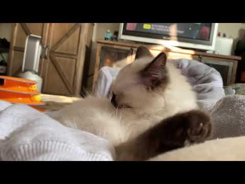 Ragdoll 9wks old kitten grooming 😽