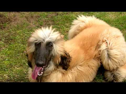 Afghan hound.Grooming The Afghan Hound