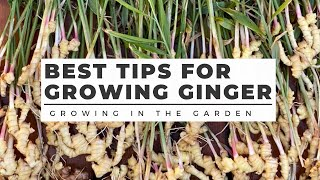 HOW to PLANT and GROW GINGER in ANY CLIMATE, plus TURMERIC growing tips