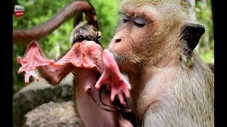 Mum is giving a birth today Sweetpea Group Youlike Monkey 730
