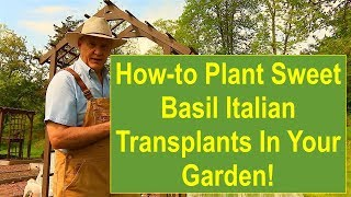 Tips and Ideas on How-to Plant Sweet Basil Italian Large Leaf Transplants in Your Vegetable Garden