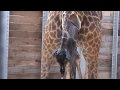 Animal Adventure Park Giraffe Cam - Hot Look Baby Giraffe First Time Standing