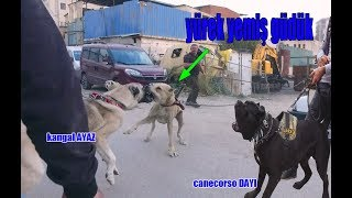 KANGAL AND CANECORSOYA ATTACKING SHEPHERD DOG