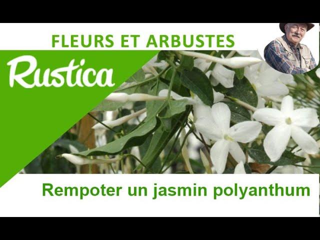 Le Jasmin Blanc D Hiver Jasminum Polyanthum Youtube