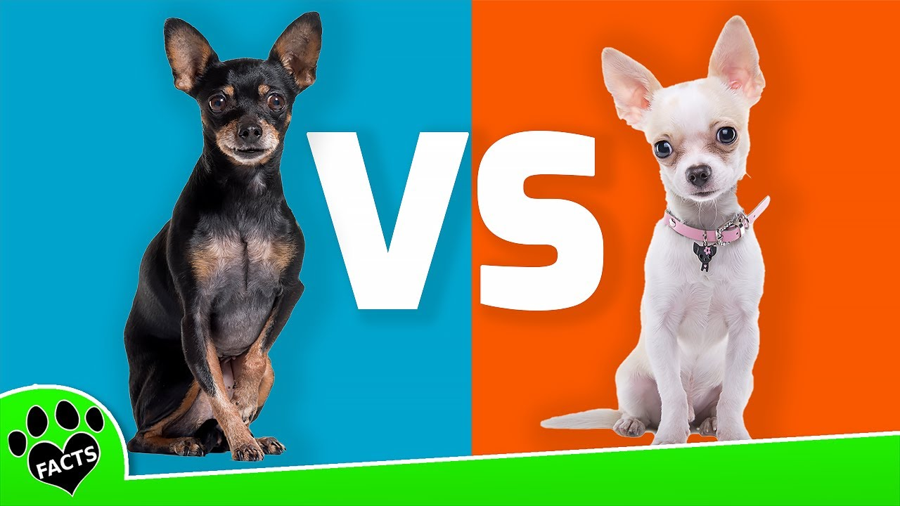 Miniature Pinscher Vs Chihuahua Dog