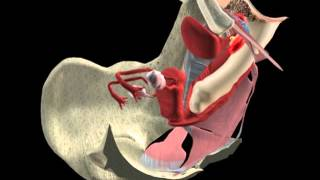 Repeat youtube video Anatomía Sexual Femenina en 3D - Aplicación disponible para iPAD y iPhone