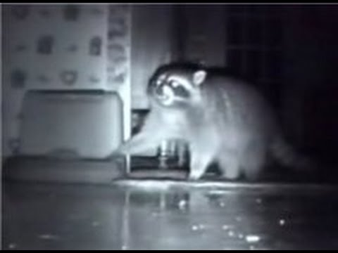 Енот Тоне - Смешные еноты -