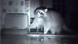 ТОП 5 лучшие видео с енотом. Енот ночью ворует. TOP 5 raccoon night.