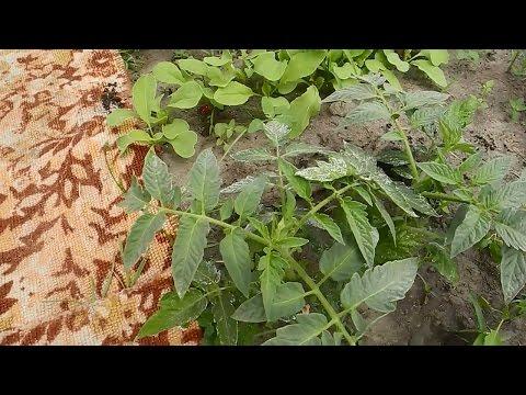 Помидоры,перцы и редиску,высаживаем в одной теплице .2