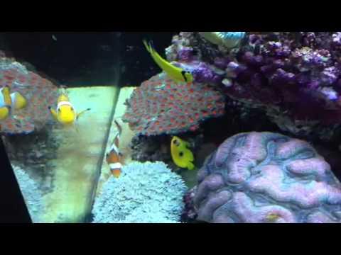 Check Out Our Juvenile Lemon Peel Angel Fish