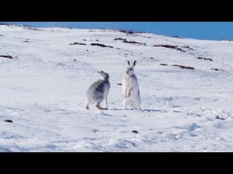 İskoçya'nın mucizevi hayvanları: Yaban tavşanları