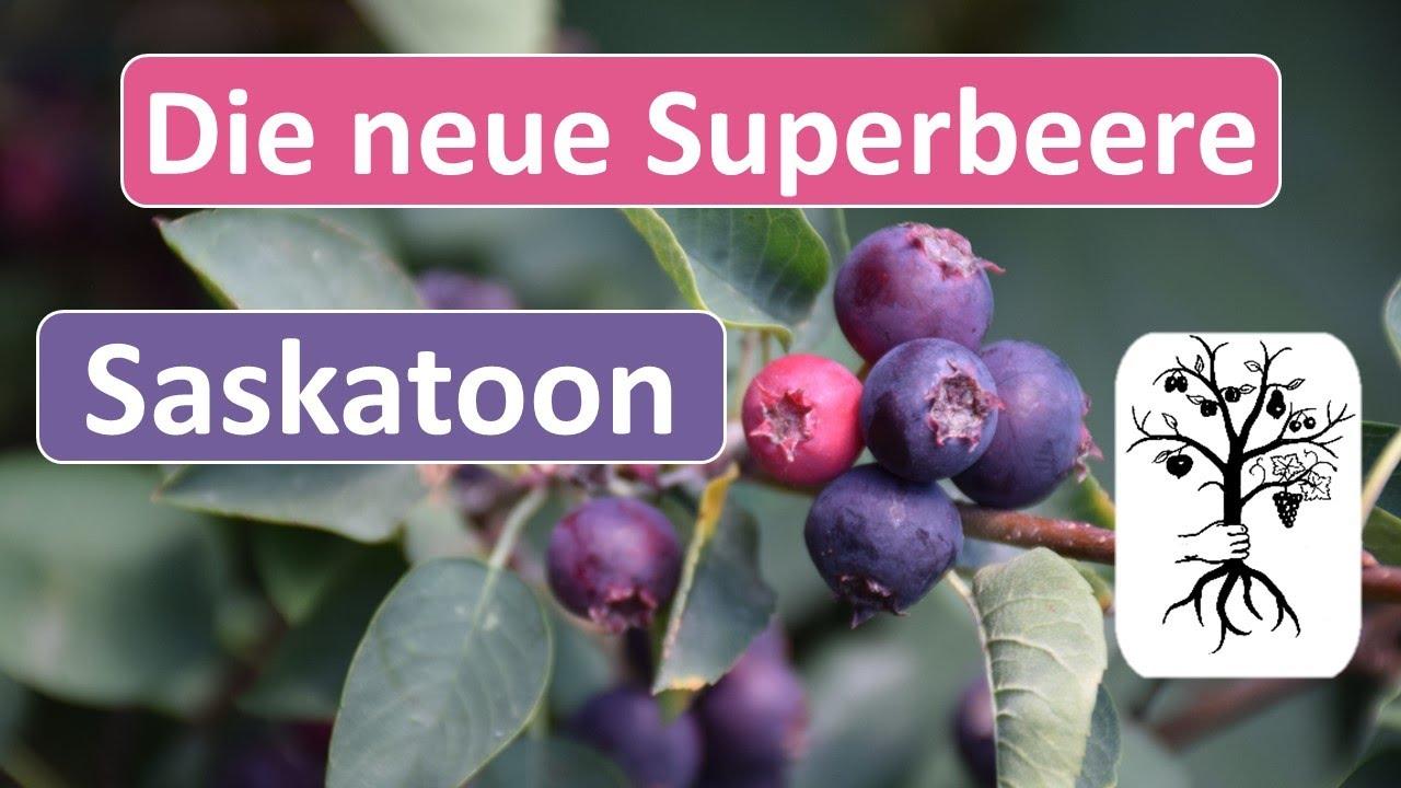 Saskatoon - neues Superfood aus Kanada - Amelanchier alnifolia