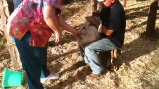 Goat castration