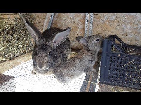 Разведения кроликов в домашних условиях
