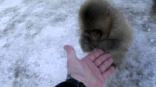 Japanese macaque snow monkeys 4