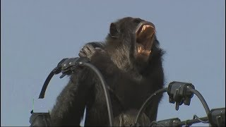 Big Chimpanzee electrocuted
