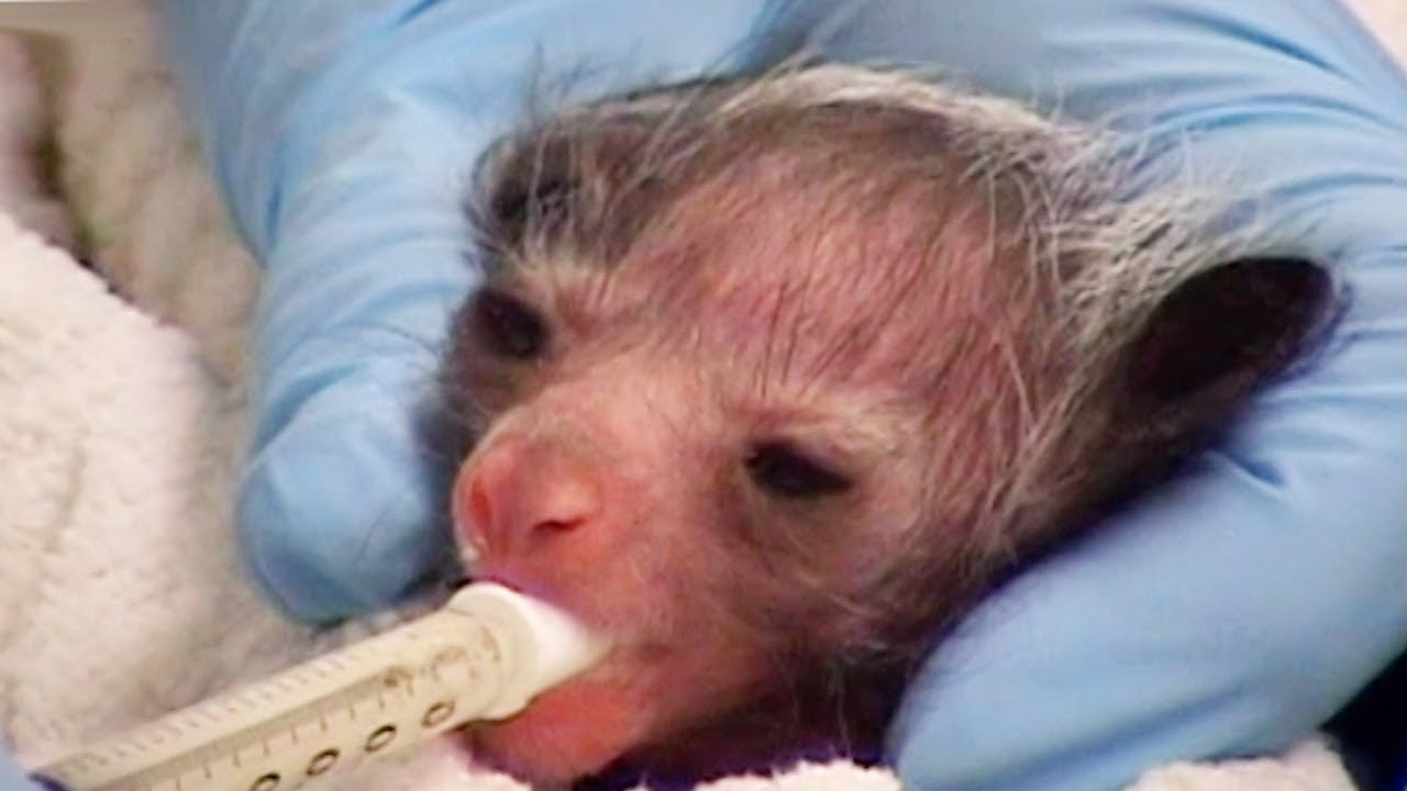 Encouraging A New-Born Aye-Aye To Feed | Nature's Miracle Babies | BBC Earth