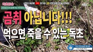 #곰취와비슷한독초#동의나물독초#곰취효능[약초방송]