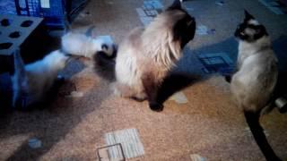 Кот Невский маскарадный  для вязки,котята